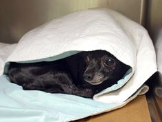 SAFE 7-20-2015 --- SUPER URGENT Manhattan Center FIRE LILY – A1043737  FEMALE, BLACK, CHIHUAHUA SH MIX, 12 yrs STRAY – STRAY WAIT, NO HOLD Reason STRAY Intake condition GERIATRIC Intake Date 07/12/2015