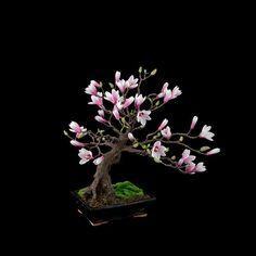 increibles-bonsais- Magnolia                                                                                                                                                                                 Más