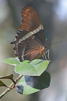 Closed Wing Butterfly