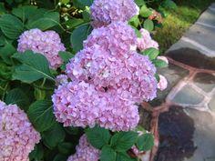 El blog de Los Peñotes: ¿Las Hortensias son solo para el verano?