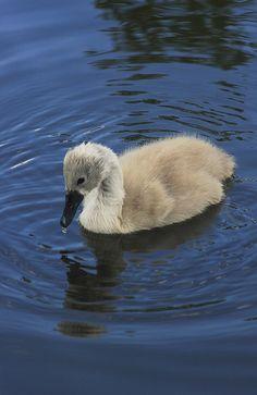 Swan Cygnet ` look how blue that water is!