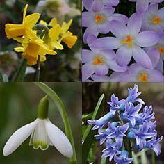 Frühblüher für den Schatten: Narzisse, Krokus, Schneeglöckchen und Hyazinthe