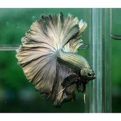 Copper Rosetail betta