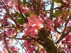 nature, beauty in nature, growth, low angle view, tree, flower, branch, fragility, pink color, freshness, no people, outdoors, day, petal, springtime, close-up, flower head