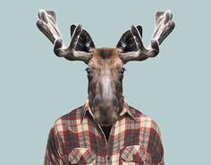 Western-Moose---Alces-Alces-Andersoni-copia