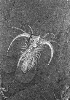 """Marrella splendens is a primitive fossil arthropod that could have given rise to any of the three great aquatic arthropod groups: crustaceans (like shrimp, crab, lobster, and believe it or not barnacles!); chelicerates (like scorpions and spiders); or trilobites. Marrella, called the """"lace crab"""" by Walcott, is the most abundant of all Burgess Shale animals"""