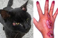 """""""O GRITO DO BICHO"""": Grave """"doença de gatos"""", transmitida para humanos,..."""