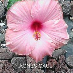 AGNES GAULT