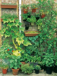 Click for larger image - Vertical Garden  2 x eggplant 'Mohican' (Image 1)   3 x basil 'Sweet Genovese' (Image 2)   3 x basil 'Red Rubin'   3 x tomato 'Tumbling Tom Red' (Image 3)   1 x cucumber 'Masterpiece' (Image 4)   1 x zucchini 'Tromboncino' (Image 5)   3 x runner bean 'Wisley Magic' (Image 6)