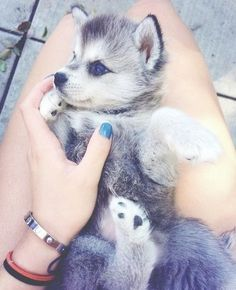 Cute husky puppy with blue eyes!