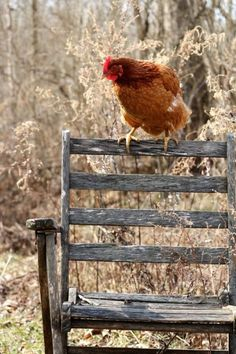 3 Best Egg Laying Chickens For Your Backyard – Chicken In The Shadows Best Egg Laying Chickens, Chickens And Roosters, Farm Animals, Animals And Pets, Cute Animals, Beautiful Birds, Animals Beautiful, Farms Living, Down On The Farm