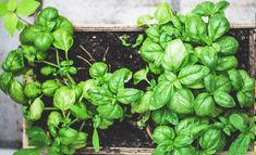 Whether you want to grow your own homemade pesto or ward off garden pests, you should grow basil at home! Learn more about different types of basil to grow. Fall Vegetables, Planting Vegetables, Vegetable Garden, Hydroponics System, Aquaponics, Types Of Basil, Basil Plant, Soil Improvement, Sun Plants
