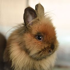 Lionhead named Chewbacca is available for adoption at Best Friends Sanctuary in Kanab, Utah | Best Friends Animal Society
