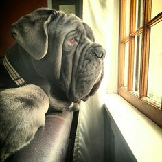 """The breed is commonly referred to as the """"Mastiff"""". Also known as the English Mastiff this giant dog breed gets known for its splendid, good natu Neo Mastiff, English Mastiff, Mastiff Breeds, Mastiff Puppies, Neopolitan Mastiff, Beast Friends, Bordeaux Dog, Giant Dog Breeds, Tibetan Mastiff"""