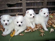 American Eskimo Puppies - animal, puppies, eskimo, dog