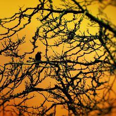Scary Halloween art corvus raven photo harvest gold creepy black and gold Halloween party - Lone Crow 8x8 - bomobob
