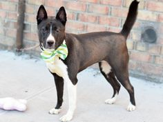 LAGUNA - A1105194 - - Brooklyn  TO BE DESTROYED 03/15/2017 *PUBLICLY ADOPTABLE* -  Click for info & Current Status: http://nycdogs.urgentpodr.org/laguna-a1105194/
