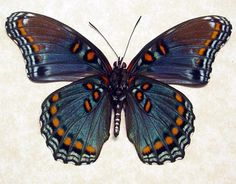 Red-Spotted Purple  Limenitis Astyanax