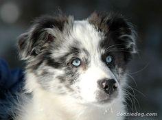 australian shepherd | Australian-Shepherd-Puppy.jpg