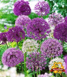 Sierlook Allium assortiment voor een voordeelprijs