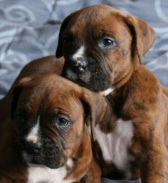 Cute Boxer Puppies, Boxer Dog Breed, Boxer Dog Puppy, Brindle Boxer, Doggies, Dogs And Puppies, Boxers, Boxer And Baby, How Big Is Baby