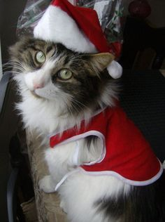 Maine Coon Cat dressed as Santa.
