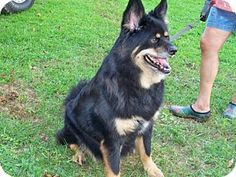 Hinton, WV - Shepherd (Unknown Type)/Chow Chow Mix. Meet Louie (8yo, 72lbs), a dog for adoption. http://www.adoptapet.com/pet/13696801-hinton-west-virginia-shepherd-unknown-type-mix