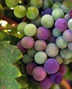 Polyphenols, flavonoids and resveratrol - treatments for the aging brain - Your Brain Health