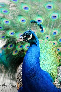 Up close and personal with a stunning peacock (photo by KerriNikolePhotography, via Flickr)
