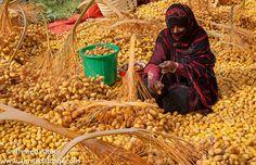 Dates Harvest - Oman