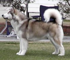 Big Dog Breeds – Alaskan Malamute. Whatta beaut! I shall call him: Whitefang :) <--Whoever wrote that comment is both the biggest nerd and coolest person at the same time...
