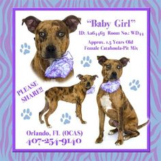PRETTY BABY GIRL IS A CATAHOULA MIX WHO IS SCHEDULED TO DIE AT THE ORANGE COUNTY FLORIDA KILL SHELTER UNLESS YOU HELP HER. PLEASEEE...