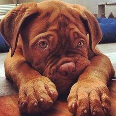 dogue de bordeaux pup i think ahhhhhh French Mastiff Puppies, Mastiff Dogs, Giant Dog Breeds, Giant Dogs, Baby Animals, Funny Animals, Cute Animals, Beautiful Dogs, Dog Breeds