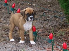 Fawn Boxer Puppy. I remember when Mia was like this