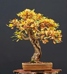 Bonsai…  oak tree - good tree for beginners. From bonsai-made-easy.com