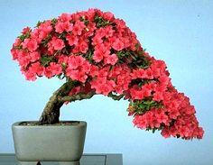 How to Prune Bonsai