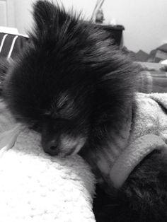 My dog. A black toy Pomeranian.