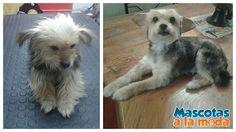 El antes y después de Princesa <3 #peluqueriacaninca #esteticacanina #amomiperro #doglover #mascotasalamoda