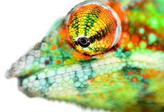 Panther Chameleon - Furcifer pardalis - Ambanja - Male  Rasta sire at Canvas Chameleons