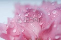 gotas de rocio: abstractos pétalos de flores de clavel con gotas de rocío
