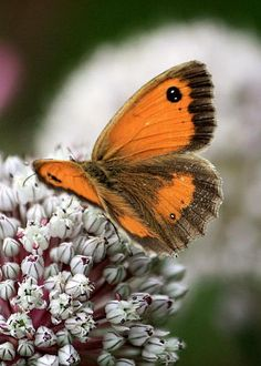 Gatekeeper (Pyronia tithonus) by Kevin F Cook
