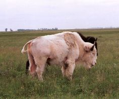 Albino bison (or Ameircan buffalo) and natural pigmented bison in background
