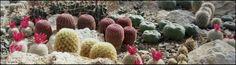 Exotická krása nevšedných rastlín z Mexika. Kaktusy s kvetmi a vytŕnením ťažko opísateľnej krásy farieb. Združenie nadšených pestovateľov kaktusov a sukulentov. Cactus Plants, Cacti, Cactus