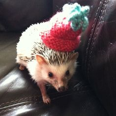 Minnie rocking her hat. proof that hedgehogs love knitted things.