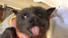 Charlie:  Grey-Headed Flying-Fox likes grapes. Warning: If you have Misophonia, turn down the sound. ://