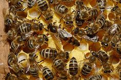 Abeja reina en el medio y abejas obreras.  #mieldelperello, #meldelperello, #avilluis, #mielnatural, #melnatural, #apicultura, #bee, #abeja, #abella, #naturaleza, #abejavolando, #abellavolant, #abejareina, #abellareina, #abejamiel, #abellamiel, #colmena, #eixam, #rusc, #arna, #zangano, #abellot, #abejaobrera, #abellaobrera, #enjambre, #panalabeja, #ceraabeja, #ceraabella, #rebostavilluis, #melavilluis, #mielavilluis, #flor, #abejaflor, #flower, #beeflower