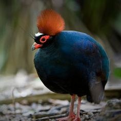 Male Crested Wood Partridge