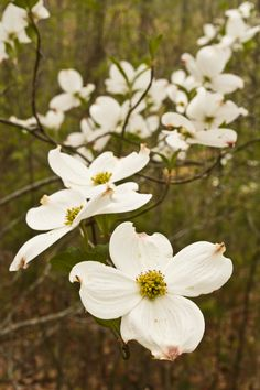 Dogwood blossoms in Gatlinburg, Tennessee