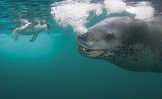Bubble talk - After trying to feed me penguins for four days, says Paul, who was photographing on Anvers Island off the Antarctic Peninsula, this massive female leopard seal started showing classic signs of frustration by blowing bubbles at me. (Pic: Paul Nicklen / Veolia Environnement Wildlife Photographer of the Year 2009)