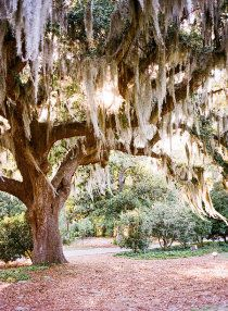 44 Ideas Oak Tree Tattoo Spanish Moss For 2019 Louisiana, Oak Tree Tattoo, Spanish Moss, Midsummer Nights Dream, Willow Tree, The Great Outdoors, Mother Nature, Southern Charm, Southern Comfort